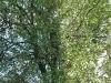 Zwetschgen-Baum