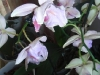 Orchidee1_kl