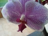 Orchidee3_kl